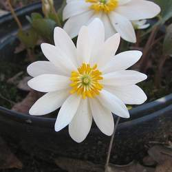 Sanguinaria canadensis Bloodroot seed for sale
