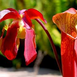 Sarracenia gronovii  rubra Sweet Pitcherplant seed for sale