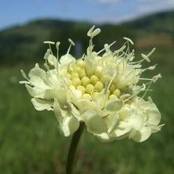 Scabiosa ochroleuca Cream Pincushions, Cream Scabious seed for sale