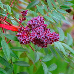 Schmaltzia copallinum Shining Sumac, Winged Sumac, Flameleaf Sumac seed for sale