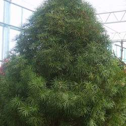 SCIADOPITYS verticillata Umbrella Pine, Japanese Umbrella Pine, Koyamaki seed for sale