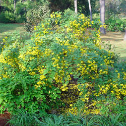 Senna bicapsularis Christmasbush, Rambling Senna, Money Bush, Yellow Candlewood seed for sale
