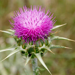 Silybum marianum Blessed Milkthistle, Milk Thistle, Mary Thistle, Holy Thistle seed for sale