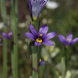Sisyrinchium idahoense Idaho Blue-eyed Grass seed for sale