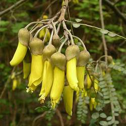 Sophora tetraptera New Zealand Sophora seed for sale