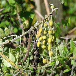 Sophora tomentosa Silverbush, Yellow Necklacepod, Yellow Necklace Pod, Silver Bush seed for sale