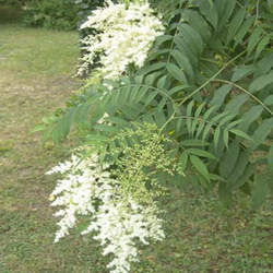 Sorbaria aitchisonii Aitchison's False Spirea seed for sale