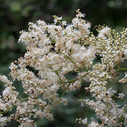 Sorbaria arborea Tree False Spirea seed for sale