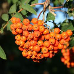 Sorbus americana     clean seed American Mountain Ash seed for sale