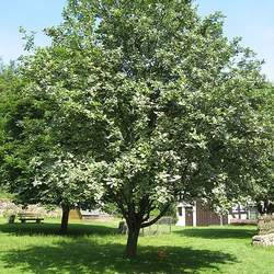 Sorbus aria Whitebeam Mountain Ash, Chess-apple seed for sale