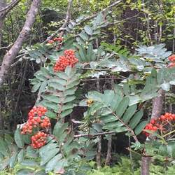 Sorbus decora Northern Mountain Ash, Showy Mountain Ash seed for sale