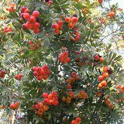 Sorbus domestica Service Tree seed for sale