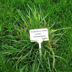 Sorghastrum nutans  Holt Indiangrass, Yellow Indiangrass seed for sale
