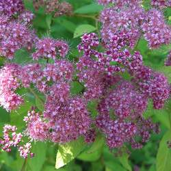 Spiraea japonica Japanese Meadowsweet seed for sale