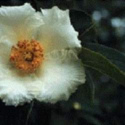 Stewartia ovata Mountain Camellia, Mountain Stewartia, Summer Dogwood seed for sale