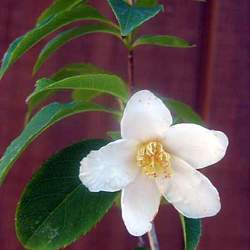Stewartia serrata Sawtooth Stewartia seed for sale