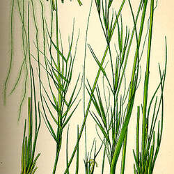 Stipa capillata Needle Grass seed for sale