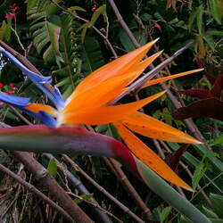 Strelitzia reginae Queen's Bird-of-Paradise, Bird-of-paradise, Queen's Bird-of Paradise seed for sale