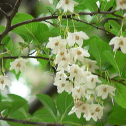 Styrax japonicus Japanese Snowbell seed for sale
