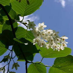 Styrax obassia Fragrant Snowbell seed for sale