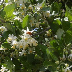 Styrax officinalis Snowdrop Bush seed for sale