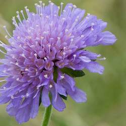 Succisa pratensis Devilsbit, Devil's Bit Scabious seed for sale