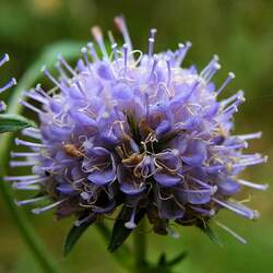 Succisa pratensis Devil's Bit Scabious, Devilsbit seed for sale