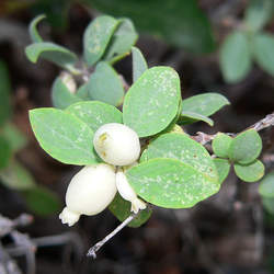 Symphoricarpos oreophilus Mountain Snowberry seed for sale