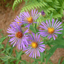 Symphyotrichum nova-angliae New England Aster seed for sale
