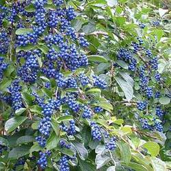 Symplocos paniculata Sapphire Berry seed for sale