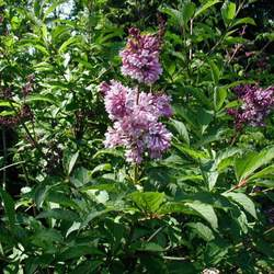 Syringa josikaea Hungarian Lilac seed for sale