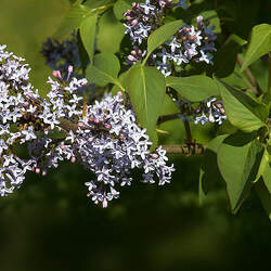 Syringa komarowii reflexa Nodding Lilac seed for sale