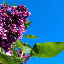 Syringa vulgaris Common Lilac, Lilac seed for sale