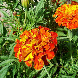 Tagetes patula French Marigold seed for sale