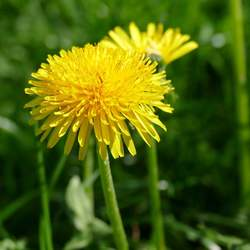 Taraxacum officinale Common Dandelion seed for sale