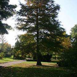 Taxodium distichum    Northern Bald Cypress seed for sale