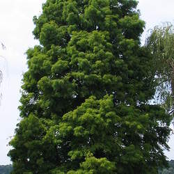Taxodium distichum    Southern Bald Cypress seed for sale