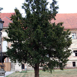 Taxus baccata Common Yew, English Yew seed for sale