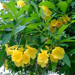 Tecoma stans Yellowbells, Yellow Trumpetbush seed for sale