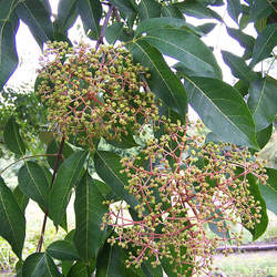Tetradium daniellii Bee-bee Tree seed for sale