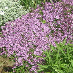 Thymus serpyllum Creeping Thyme , Breckland Thyme seed for sale