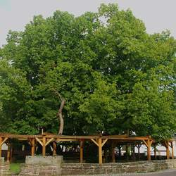 Tilia platyphyllos Big-leaf Linden, Largeleaf Linden, Bigleaf Linden, Cut-leaved Lime, Cut-leaved Linden seed for sale