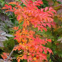 Toxicodendron vernicifluum Chinese Lacquer seed for sale