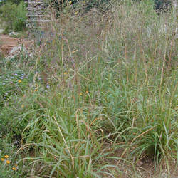 Tridens flavus Purpletop Tridens, Greasegrass, Tall Redtop, Sandgrass seed for sale