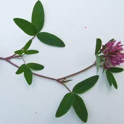 Trifolium pratense   Medium Red Clover, Medium Red Clover seed for sale