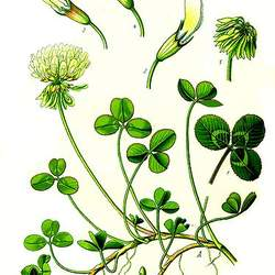Trifolium repens White Clover, Irish Shamrock, True Irish Shamrock, Dutch Clover seed for sale