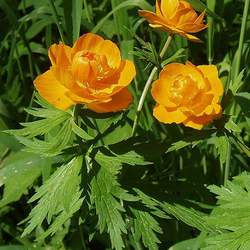 Trollius asiaticus Asian Globeflower seed for sale