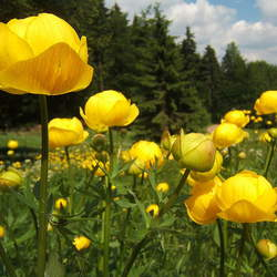 Trollius europaeus Common Globeflower seed for sale