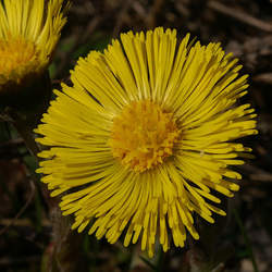 Tussilago farfara Coltsfoot seed for sale