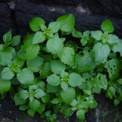 Urtica dioica Stinging Nettle, Common Nettle seed for sale